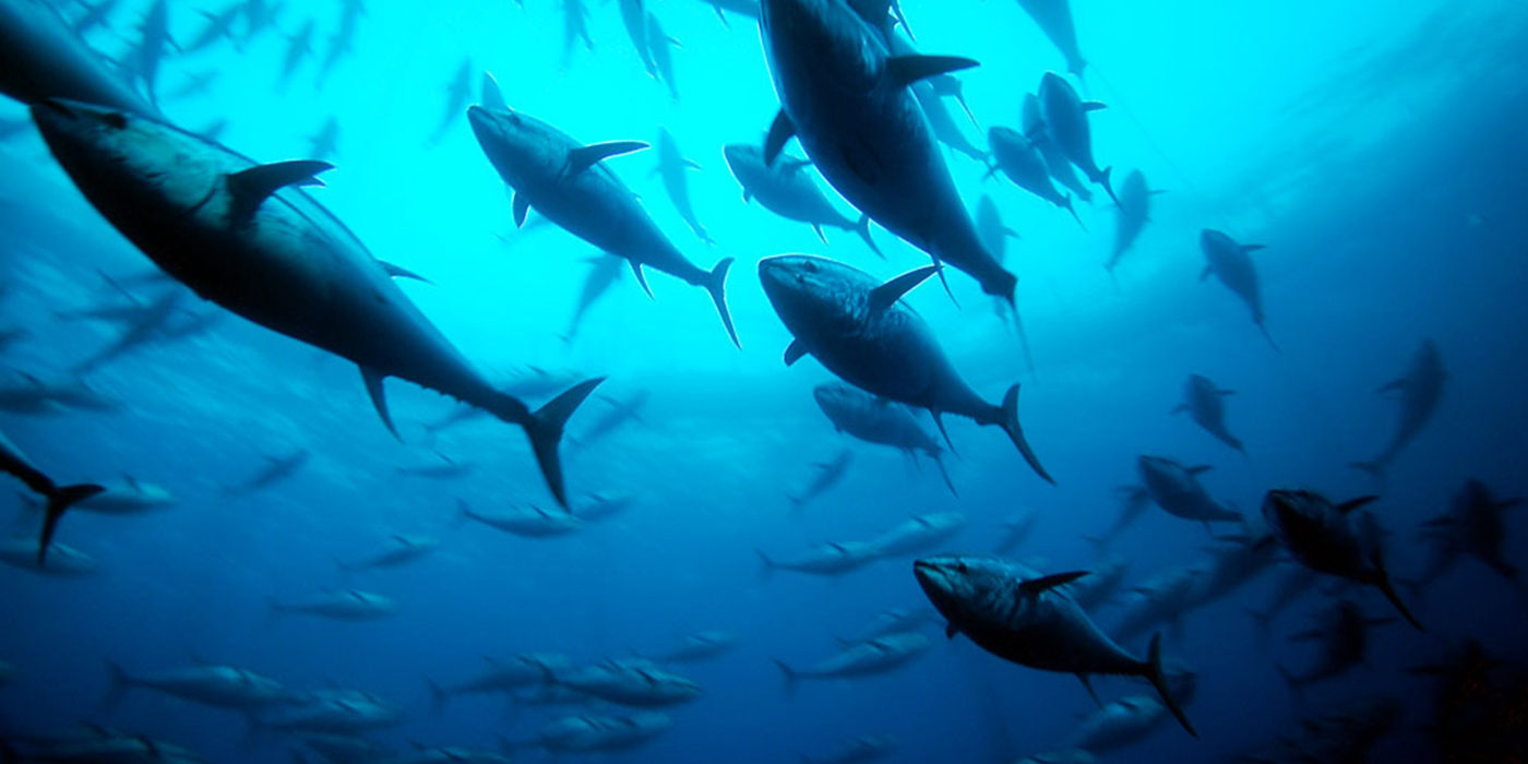 Clipper Oil: Albacore Tuna Are Spawning Less, And That's Worrying Some South Pacific Nations
